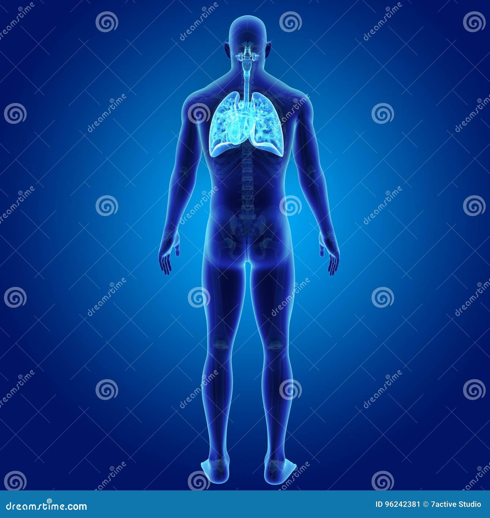 Sistema Respiratorio Y Corazón Humanos Con La Opinión Esquelética ...