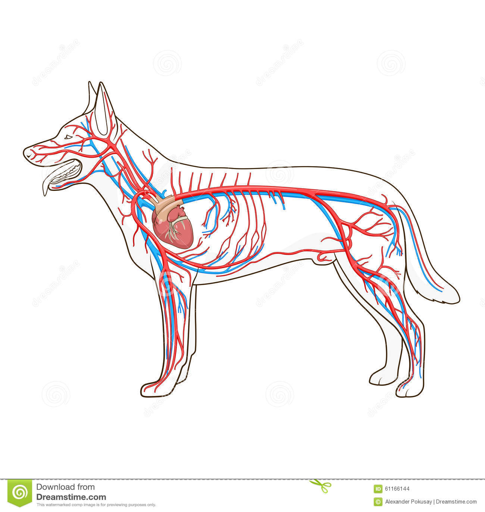 Sistema Vascular Del Ejemplo Del Vector Del Perro Ilustración del ...