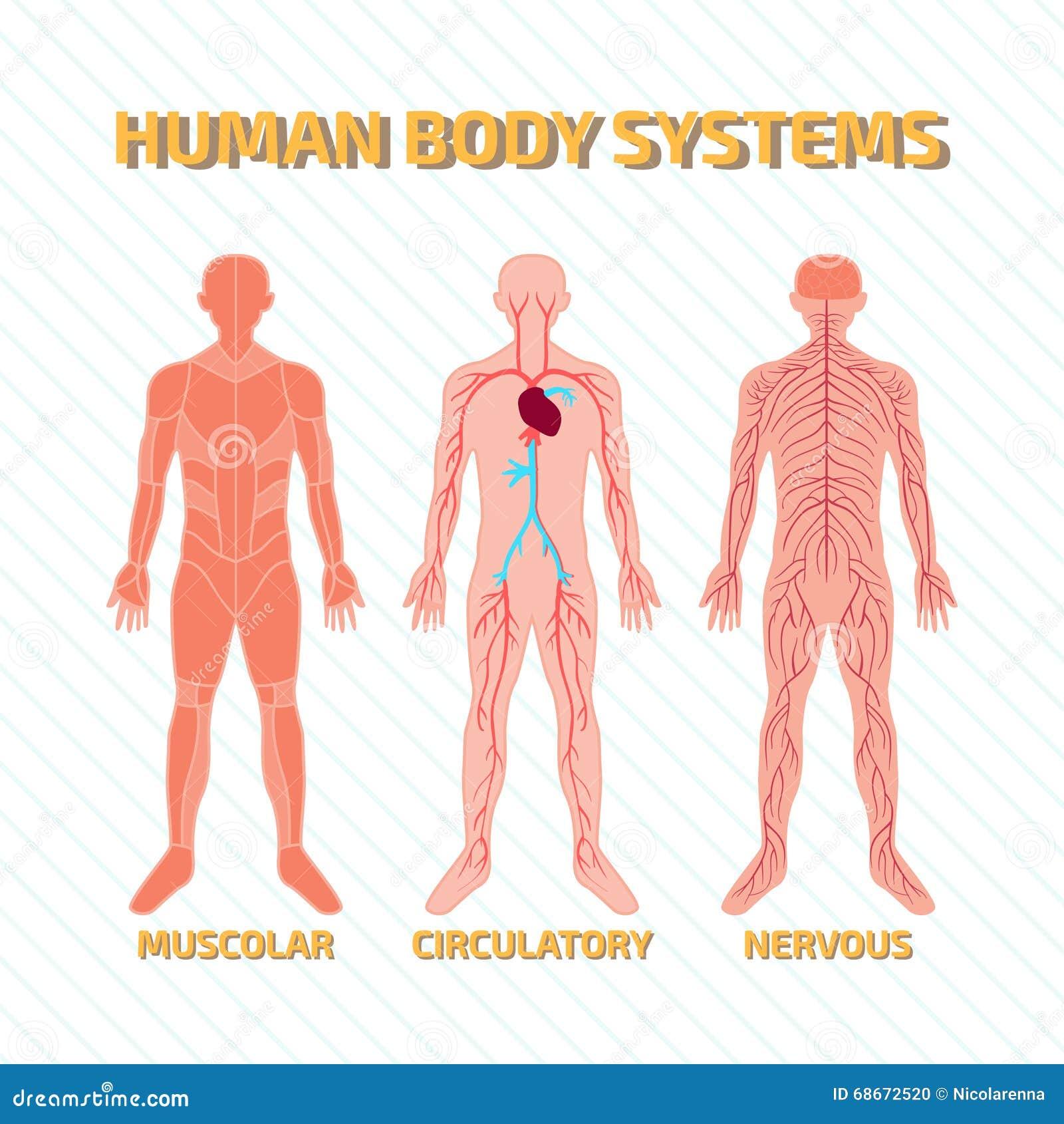 Diagrama De Sistemas En Cuerpo Humano Ilustración del Vector ...