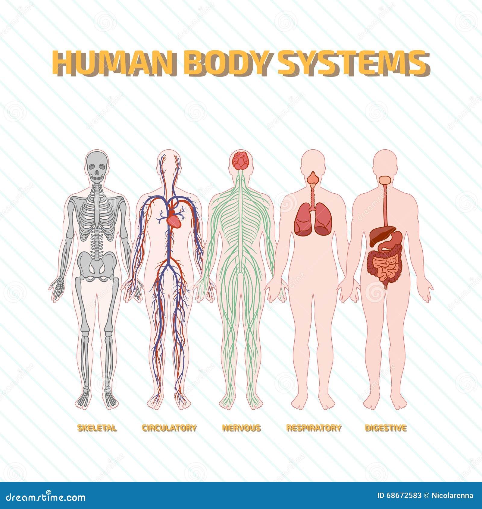 Sistemas del cuerpo humano ilustración del vector. Ilustración de ...