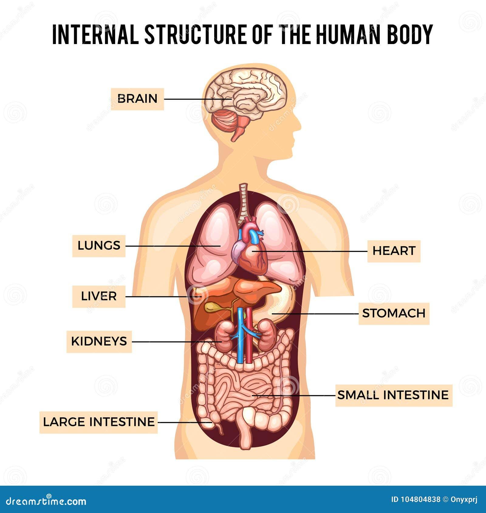 Sistemas Del Cuerpo Humano Y De Los órganos Vector Infographic ...