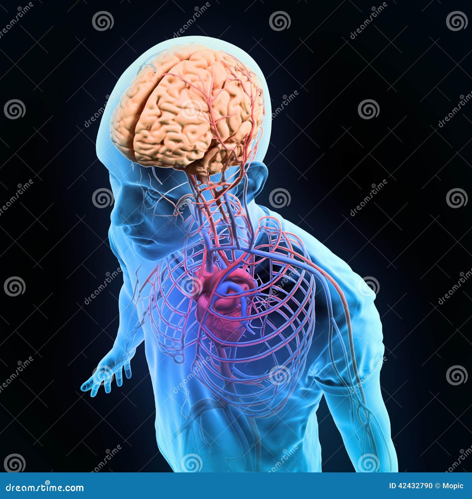 Sistemas Nerviosos Y Circulatorios Del Ejemplo Humano De La Anatomía ...
