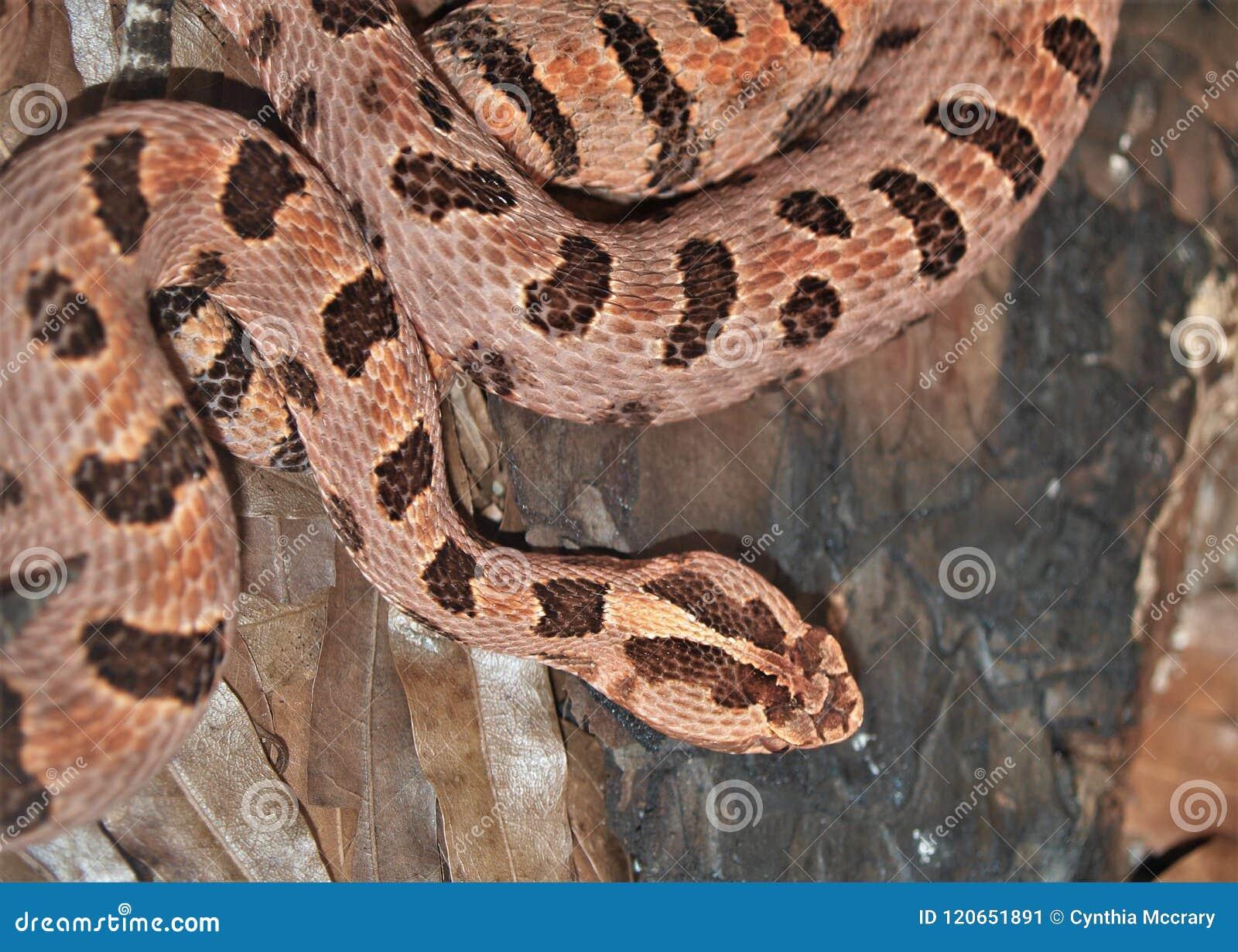 Sistrurus enano Miliarius de la serpiente de cascabel