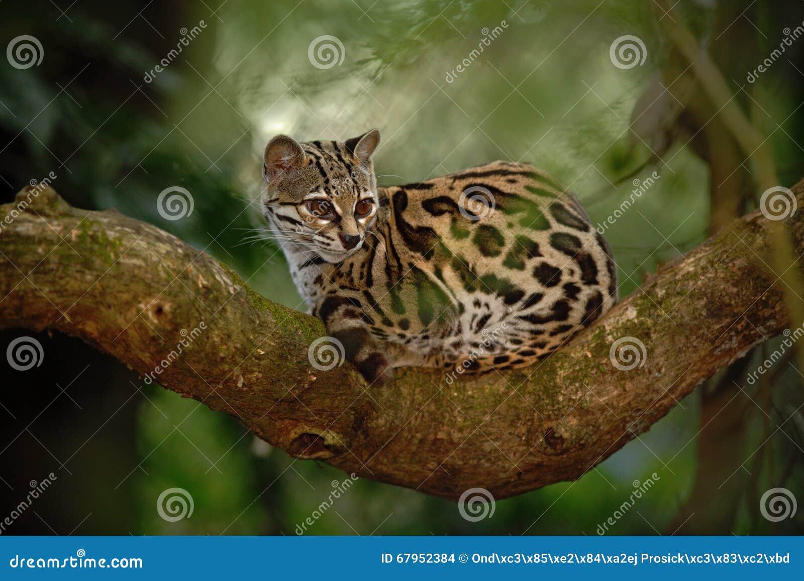 Sitiing margay de chat gentil sur la branche dans la forêt tropicale costarican
