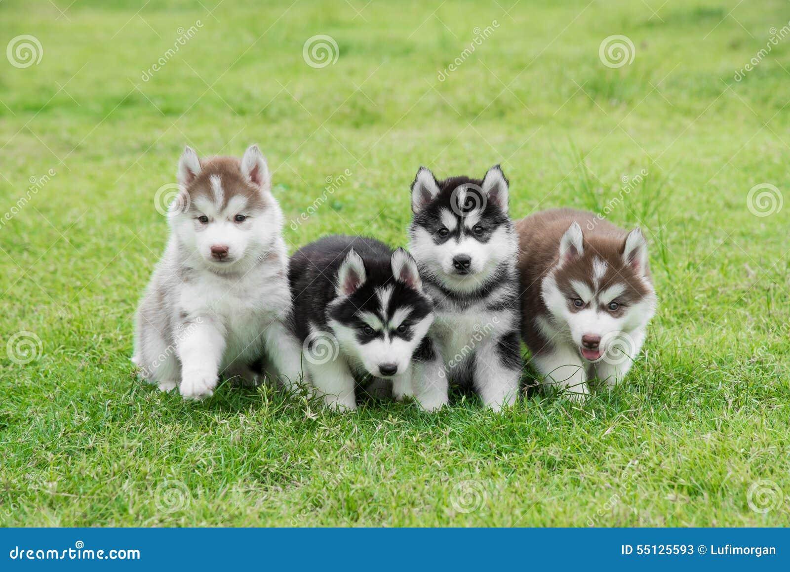 Sitta för fyra Siberian skrovligt valpar