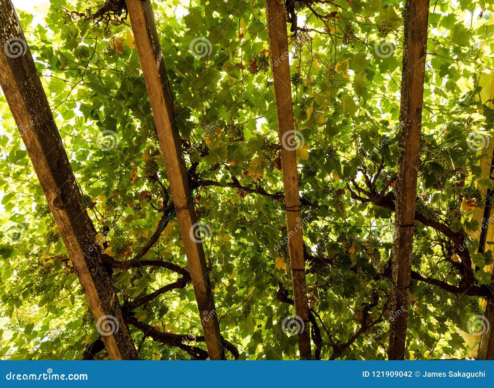 Sitta under skuggan av druvavinrankor från de ovannämnda taksparrarna