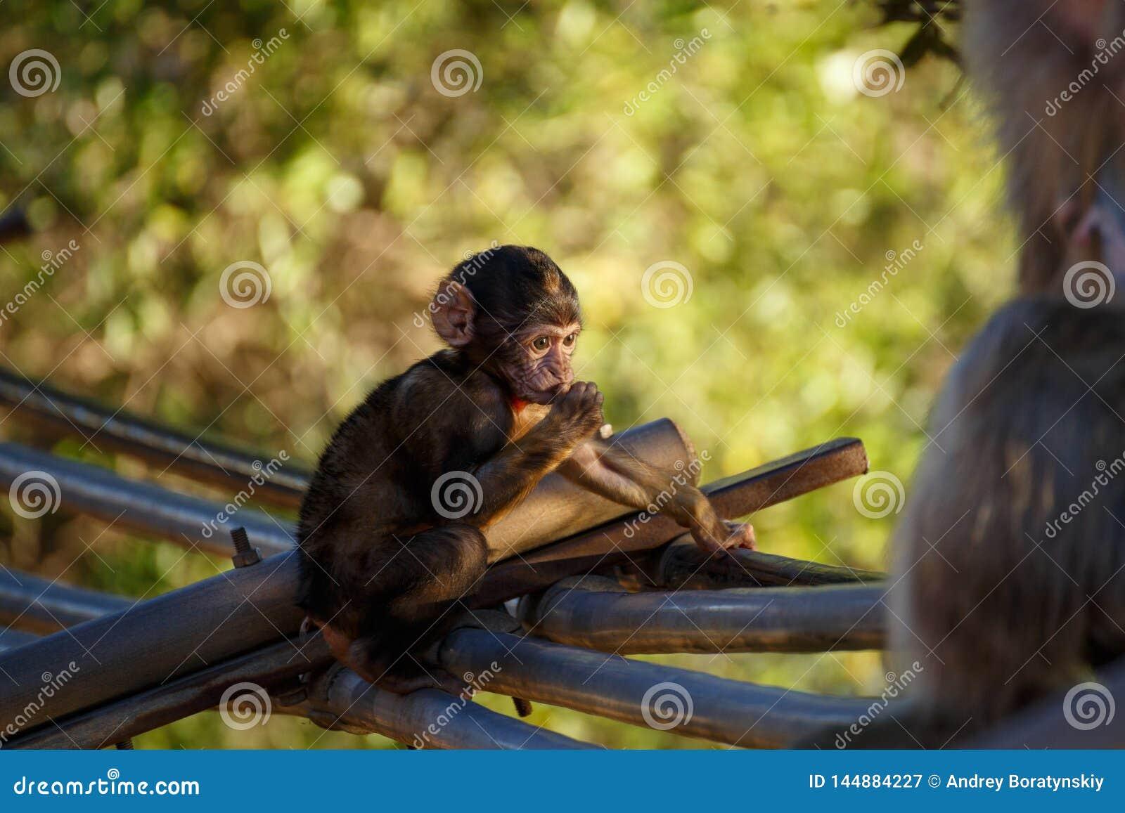 Sittande liten apa med grön bakgrund