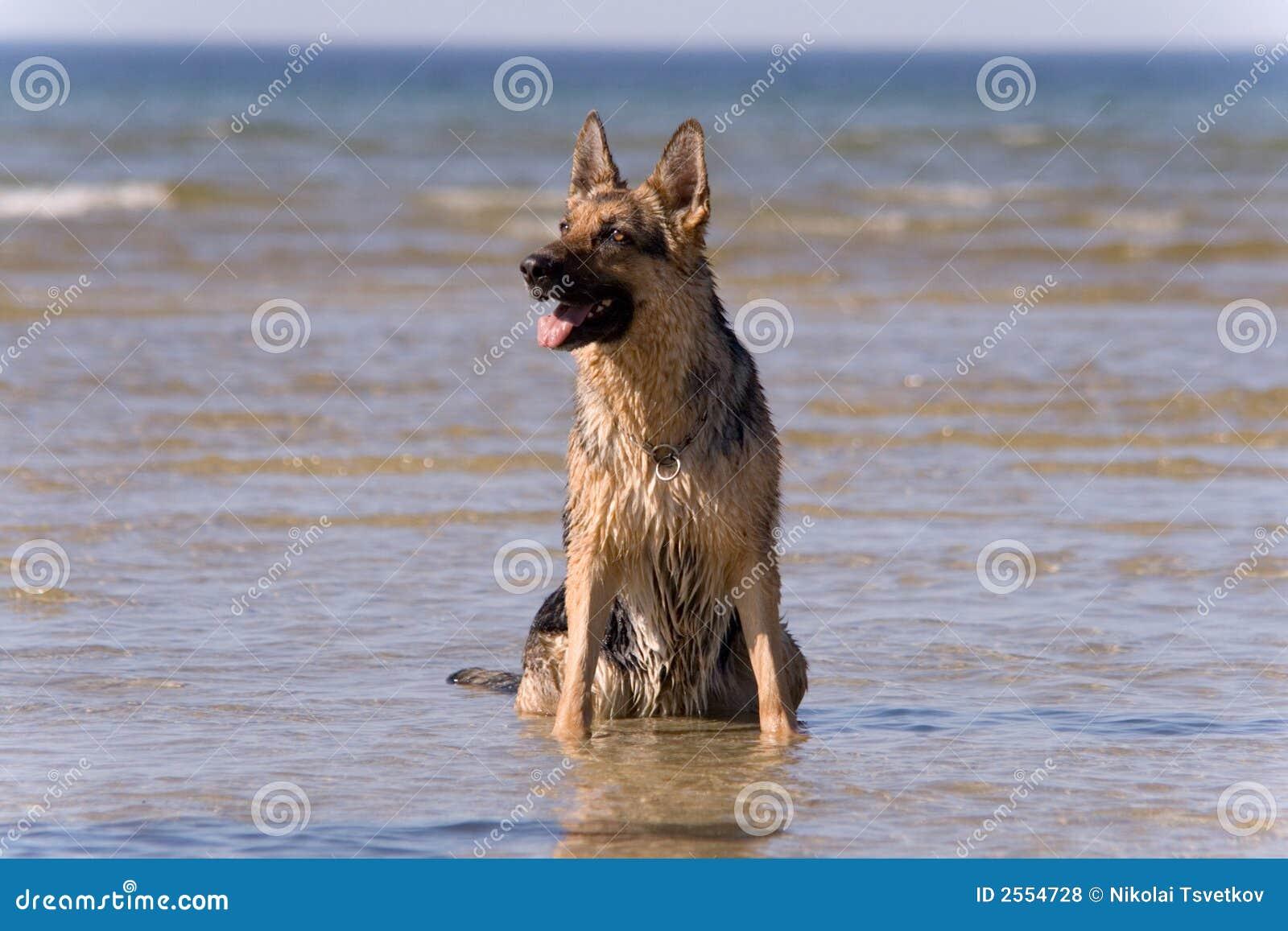 Sittande vatten för hundfår