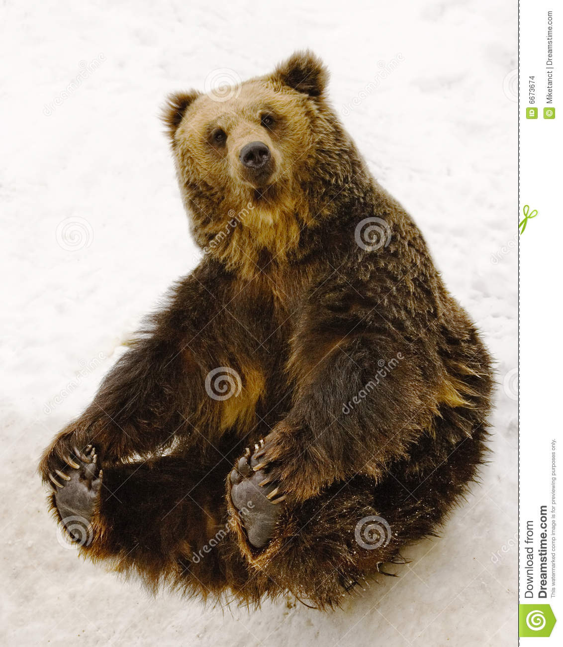 Sitting Bear Stock Photo Image Of Grizzly Lazy Brown