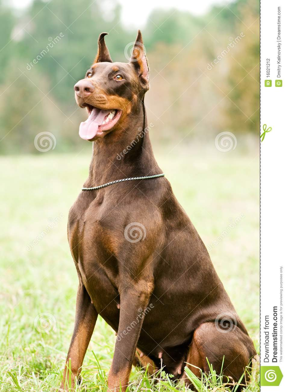 Sitting Brown Doberman Pinscher Stock Photography - Image ...