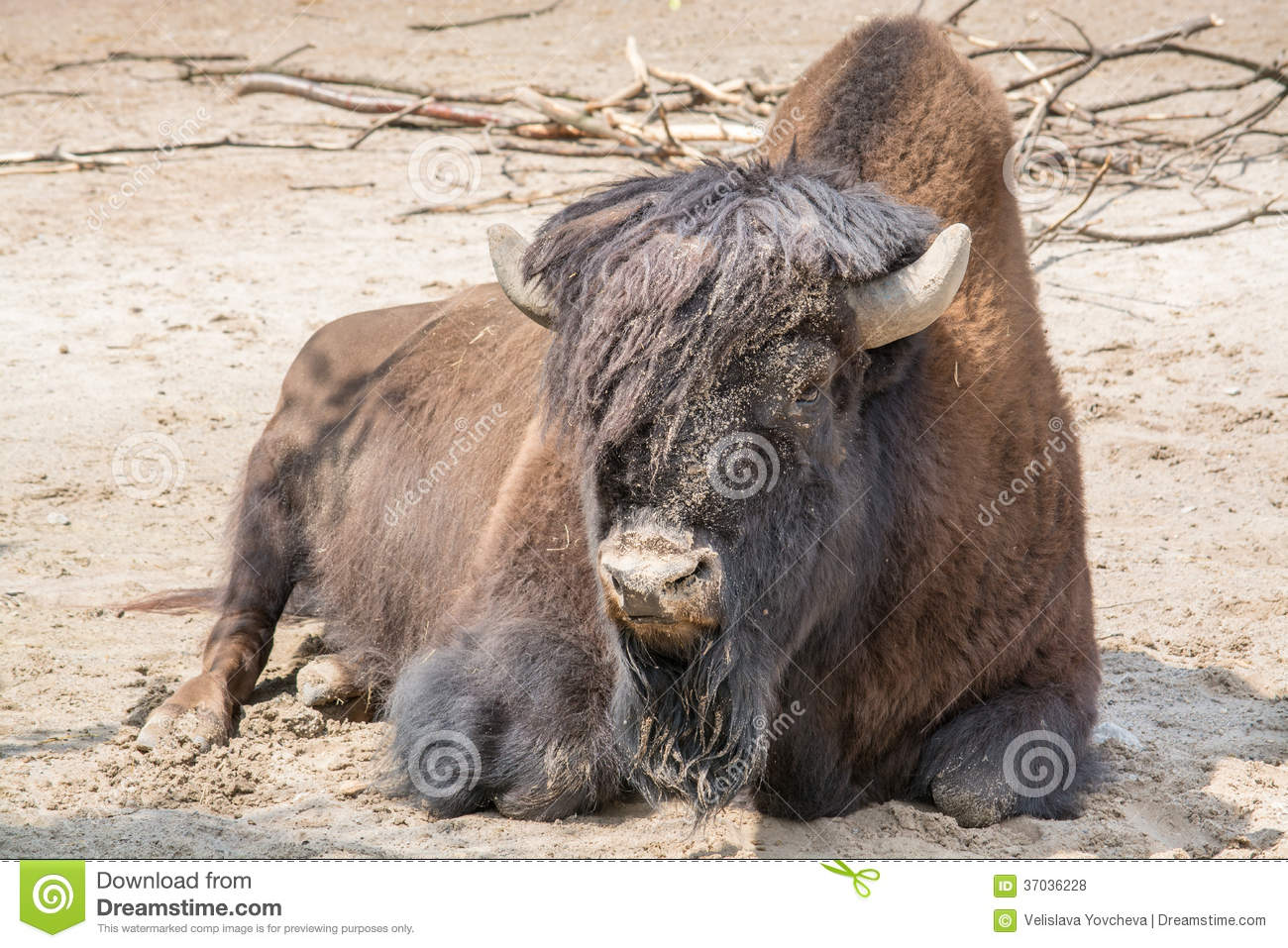 Sitting Buffalo Resting In A Sunny Day Stock Photo Image