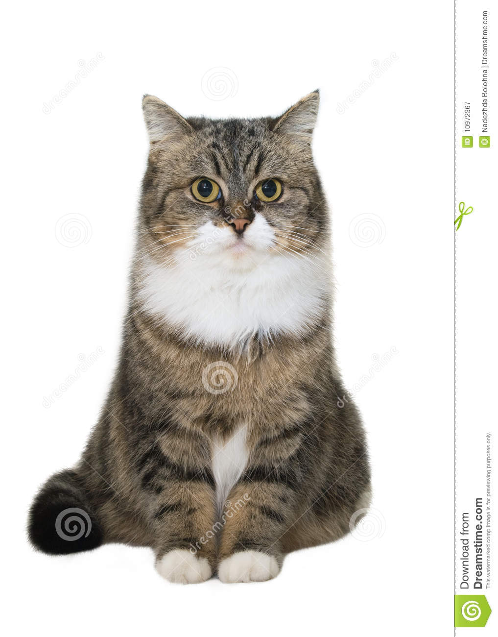 Sitting Cat Royalty Free Stock graphy Image