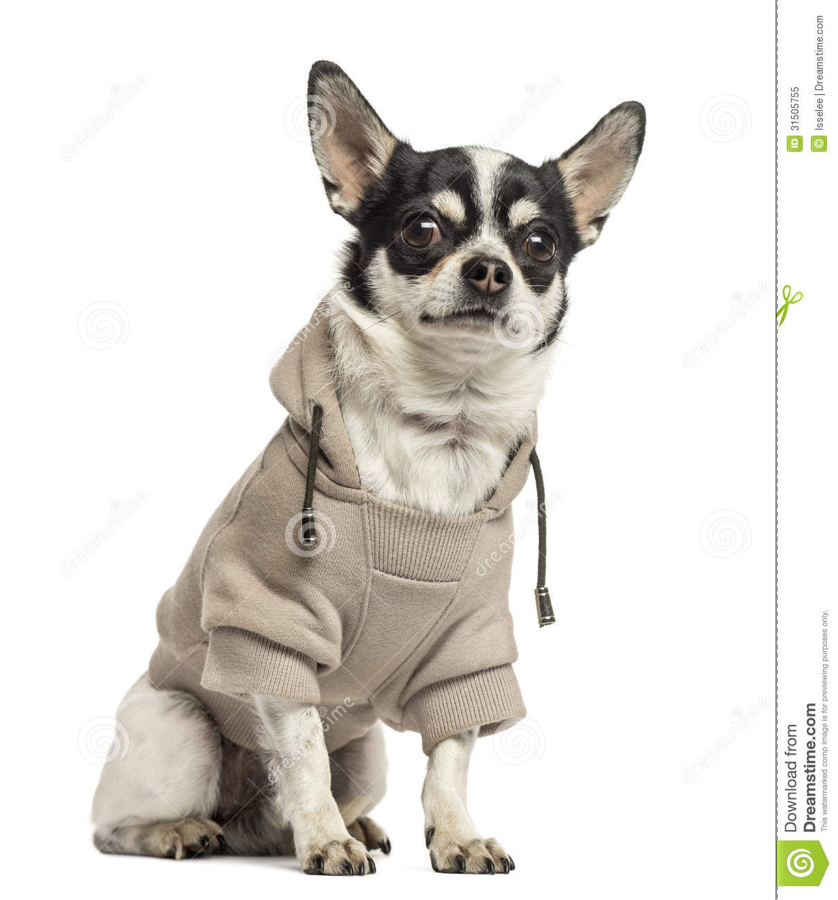 Sitting Chihuahua Wearing A Sweater 18 Months Old Stock Image