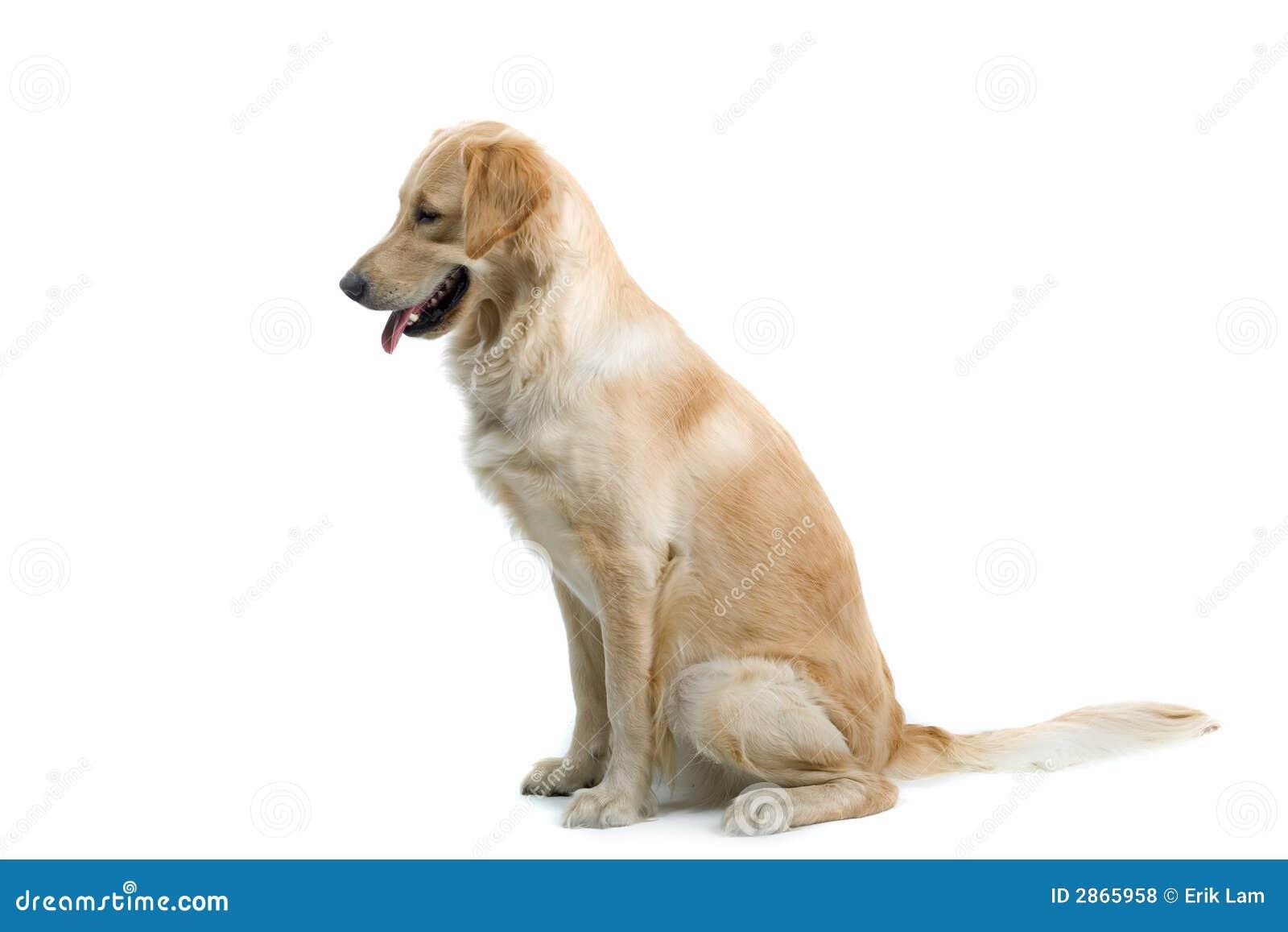 sitting dog royalty free stock photos