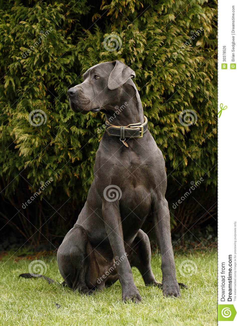 Dog Breed Great Dane Pictures