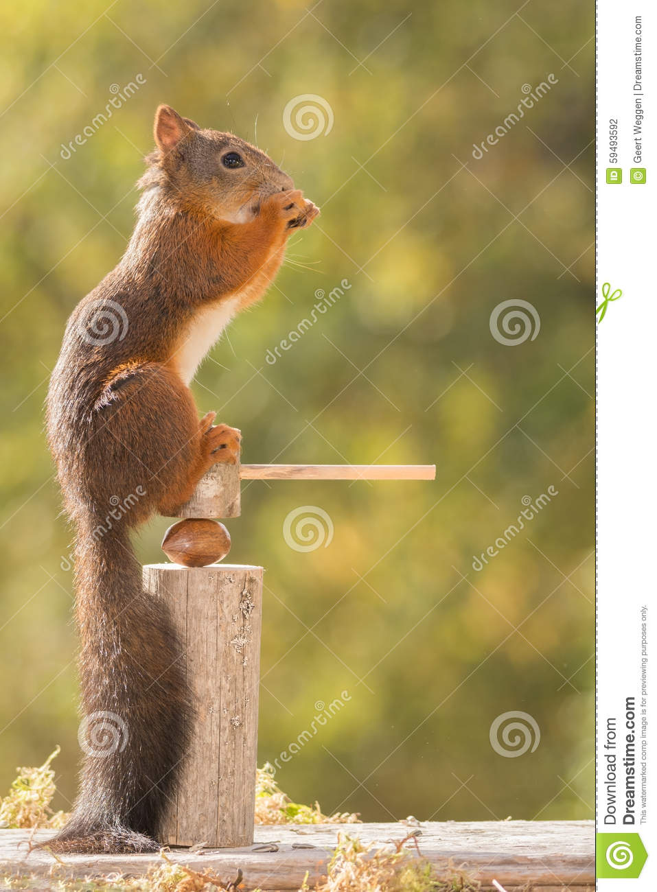 Sitting job stock photo image 59493592 - Nutcracker squirrel ...