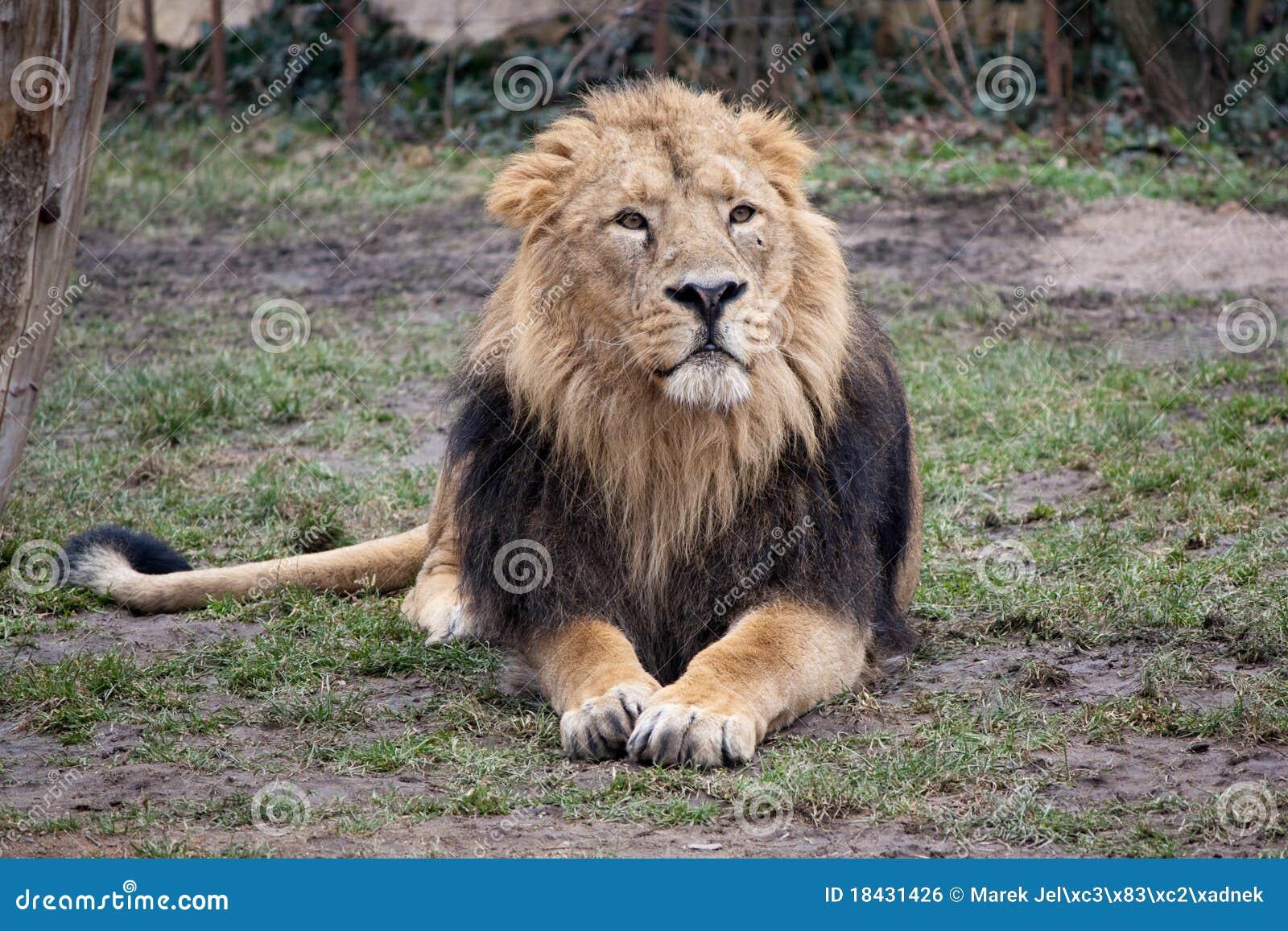 Lion sitting - photo#25