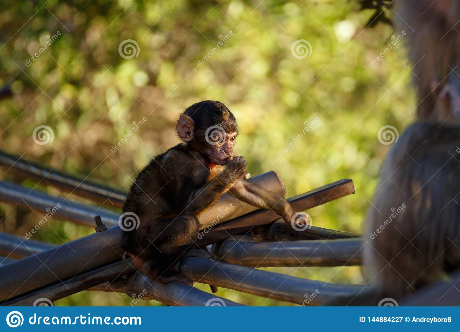 Sitting little monkey with green background