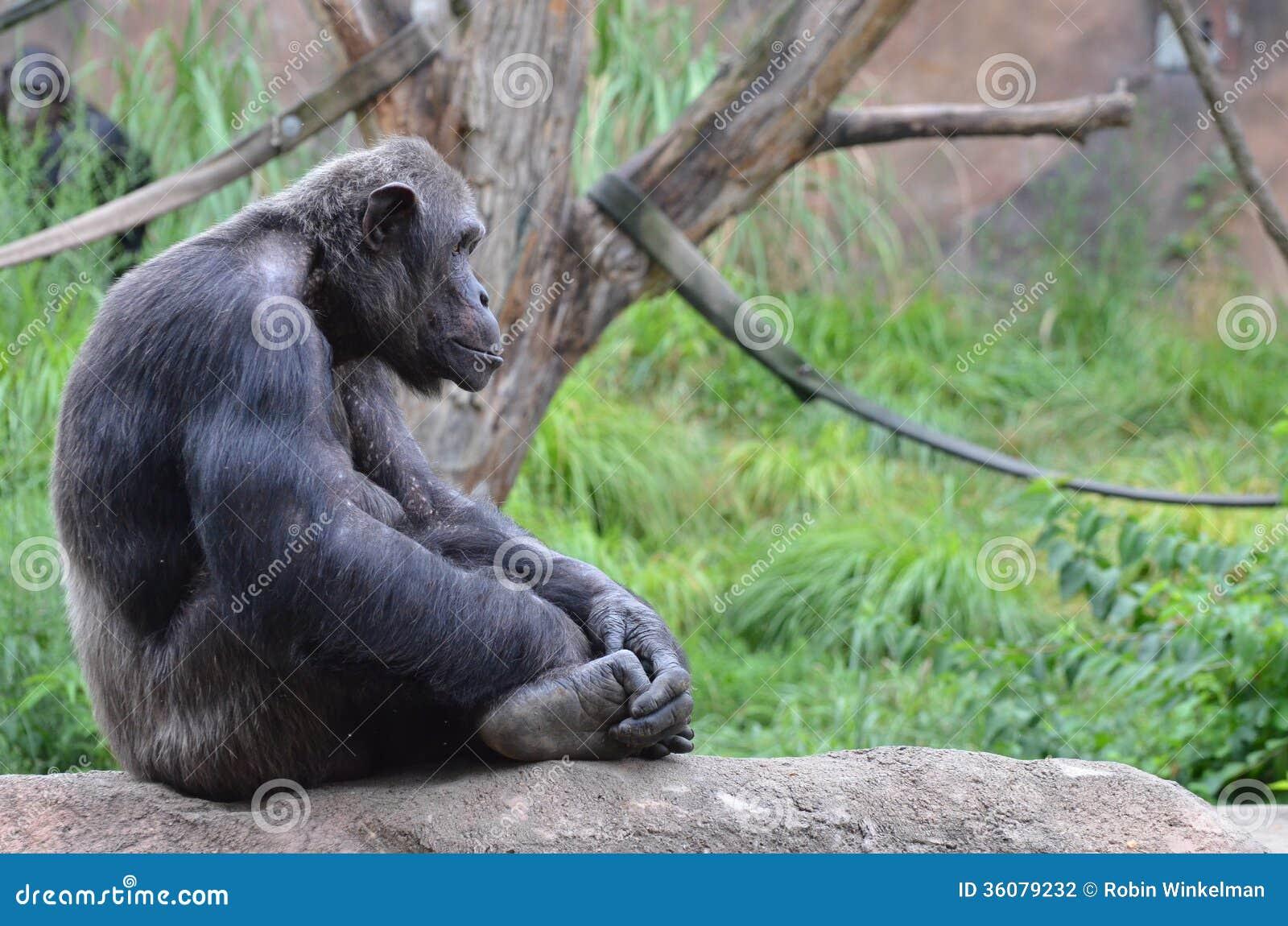 Sitting Male Chimp Stock Photography - Image: 36079232  |Chimp Sitting