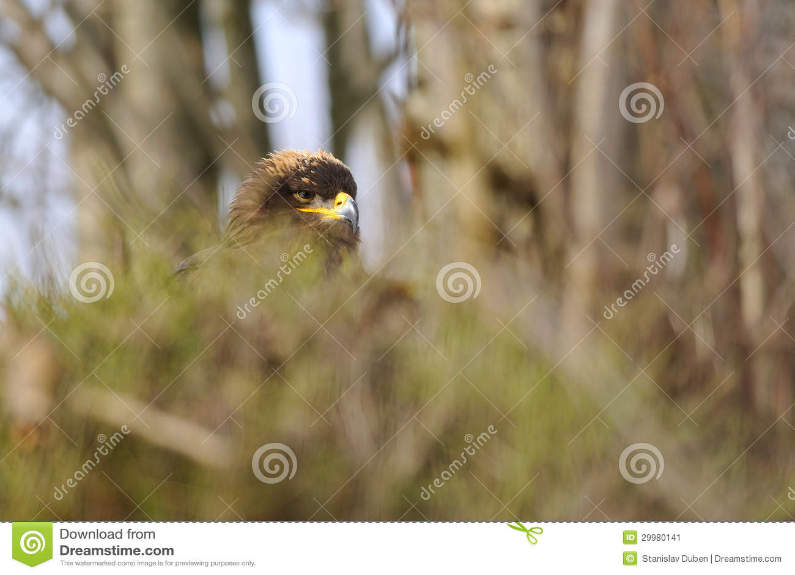 Steppe Eagle hidden in bush branches