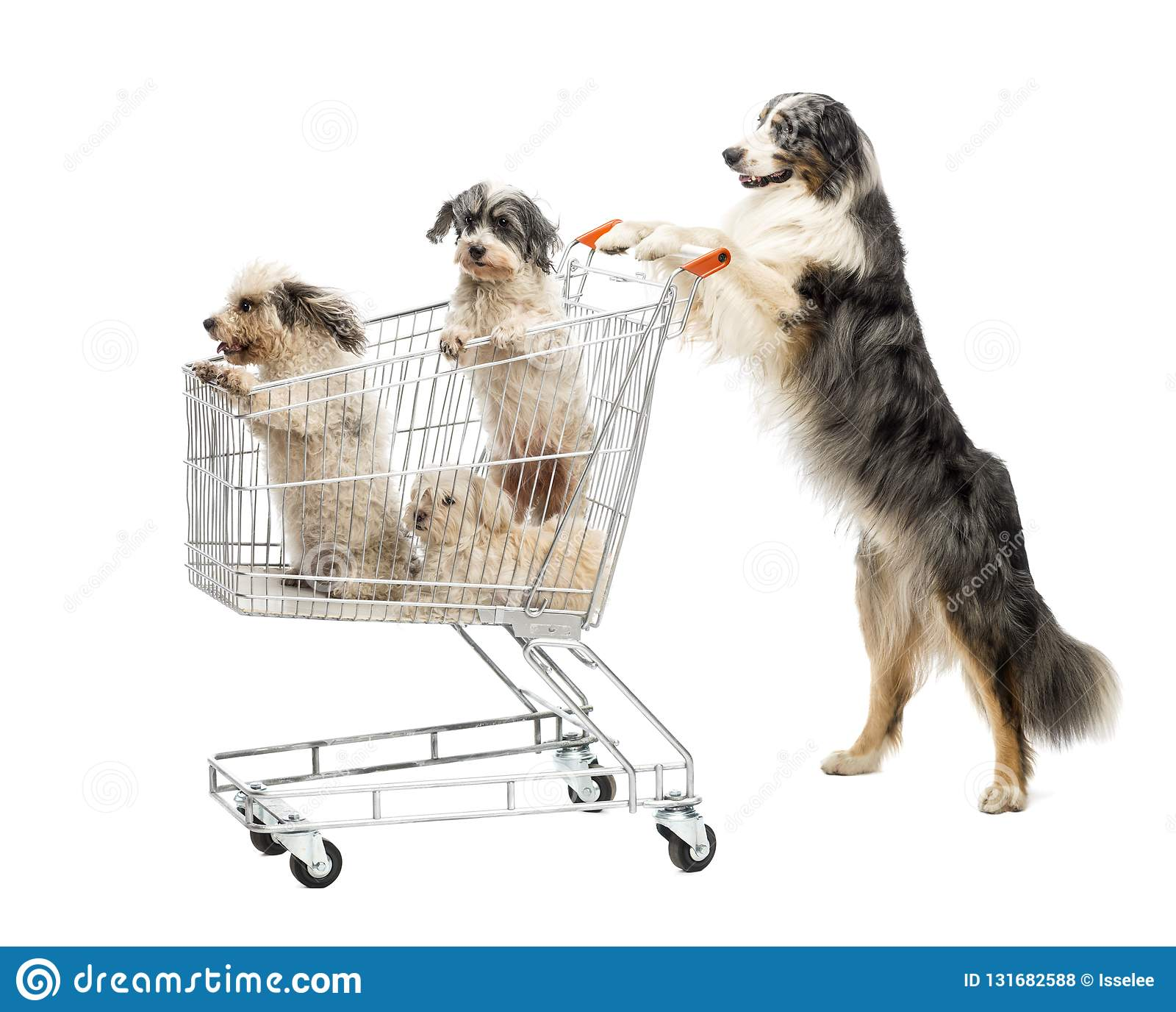 Situación australiana del pastor en las piernas traseras y empujar un carro de la compra con los perros contra el fondo blanco