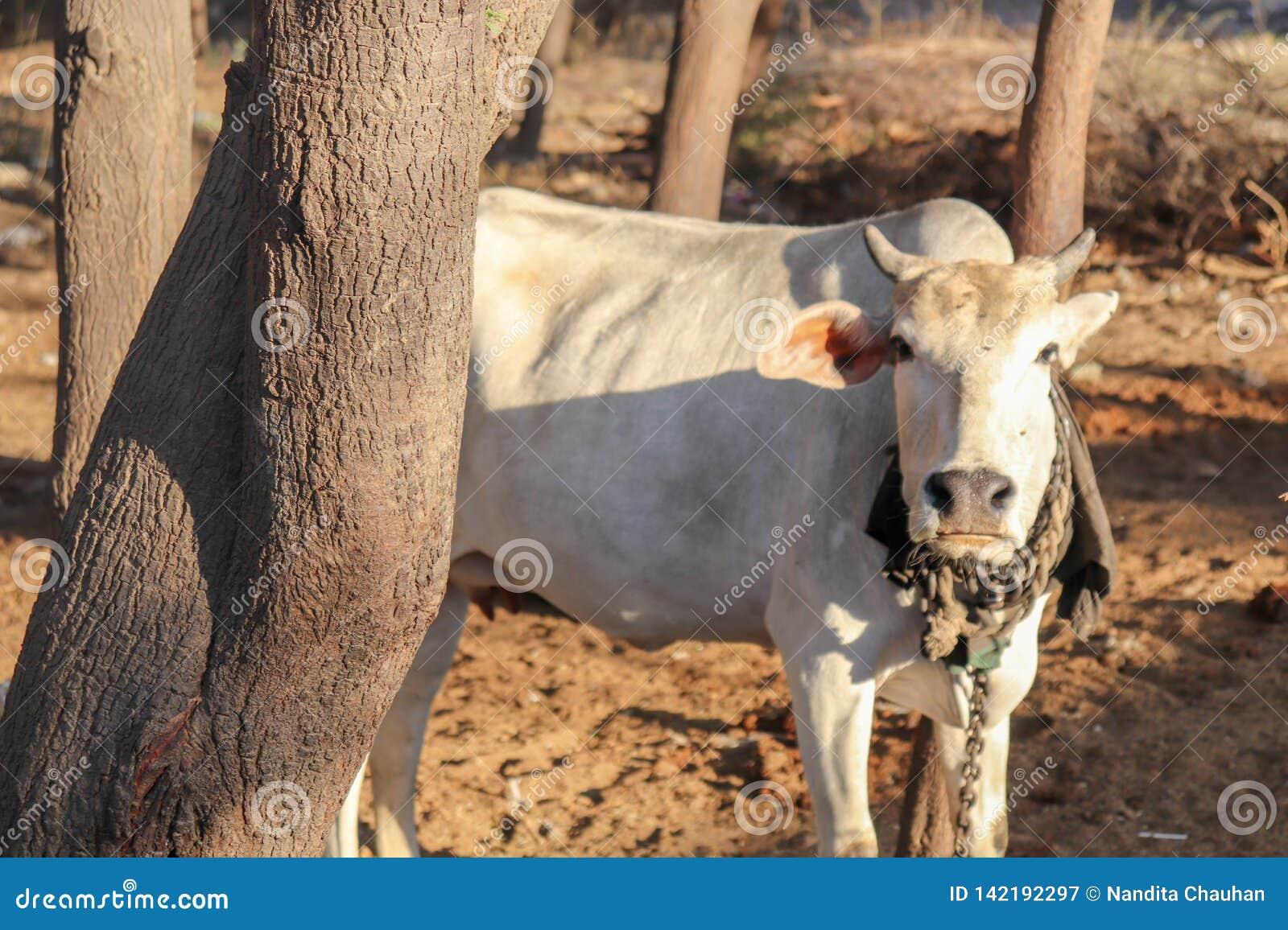 Situación de la vaca detrás del árbol en área del pueblo rural