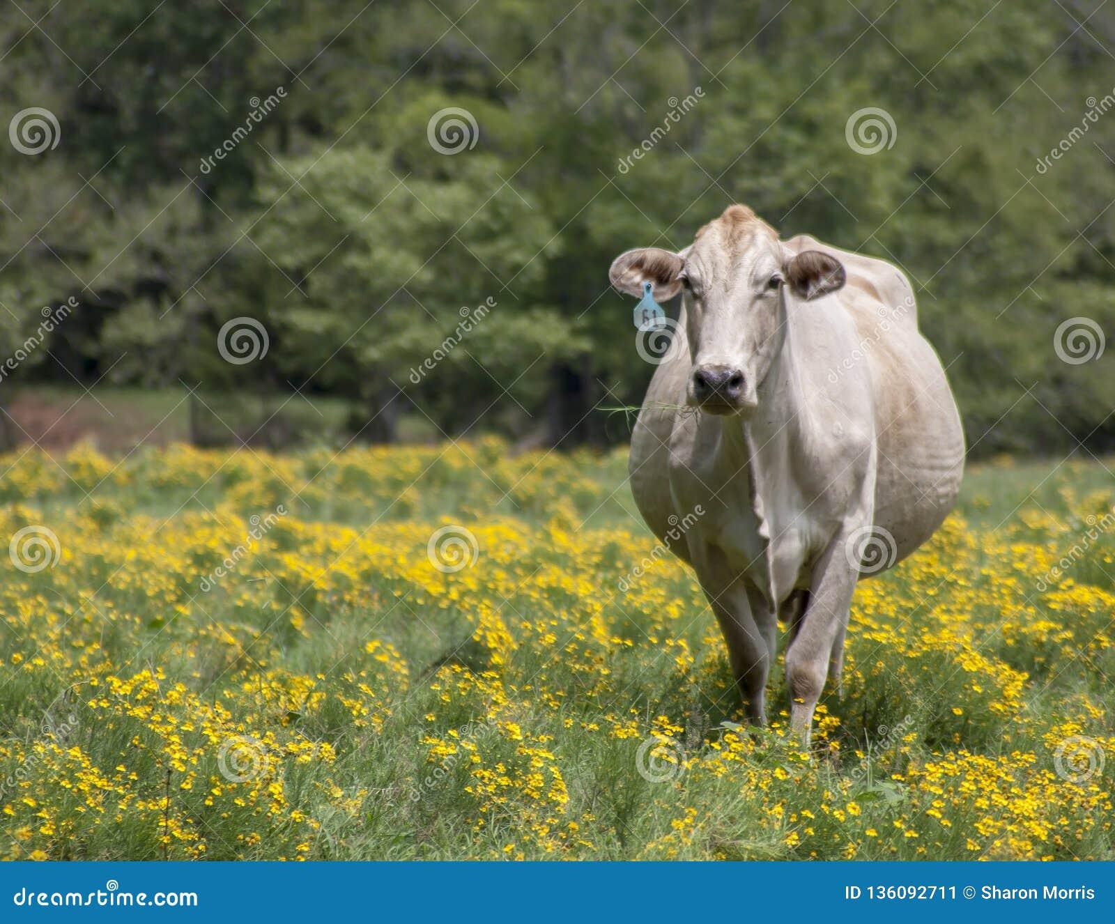 Situación de la vaca en flores amarillas