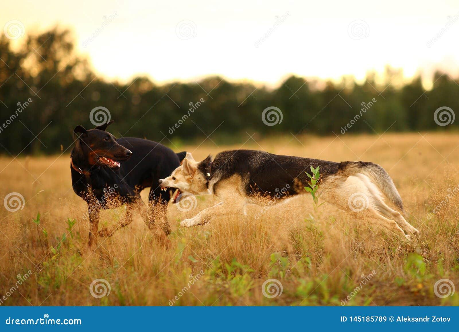Situaci?n del perro del perro esquimal de dos perros y de monta?a de Bernese en prado verde y mirada de la c?mara Fondo de la hie
