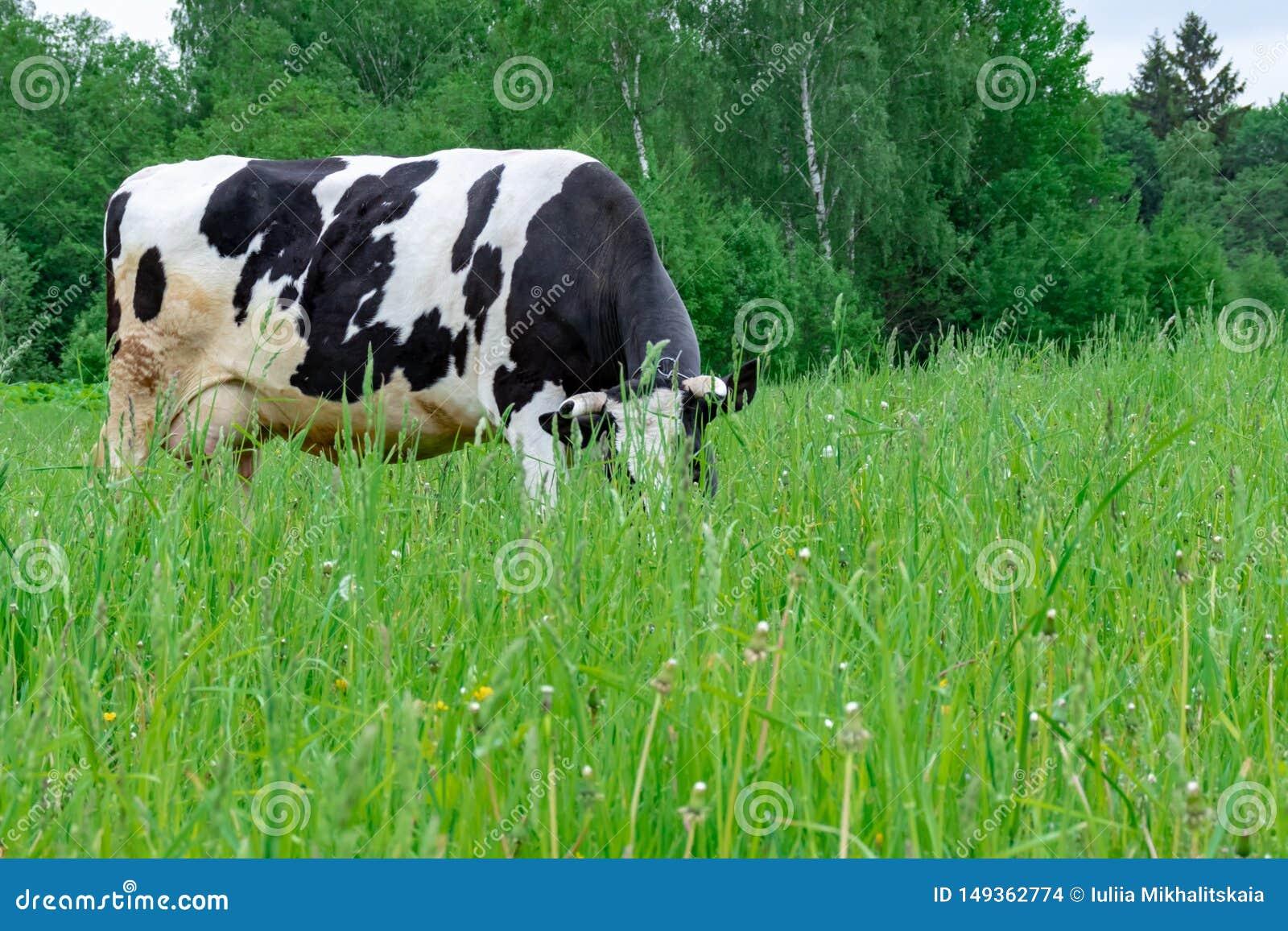 Situaci?n manchada blanco y negro en un pasto rural verde, ganados lecheros de la vaca de leche de Holstein que pastan en el pueb