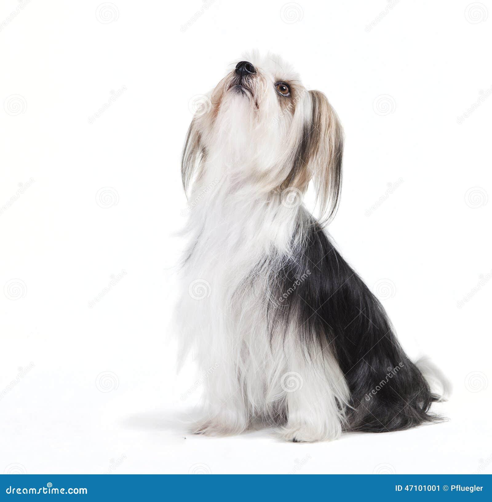 Sitzender Hund mit langem Pelz
