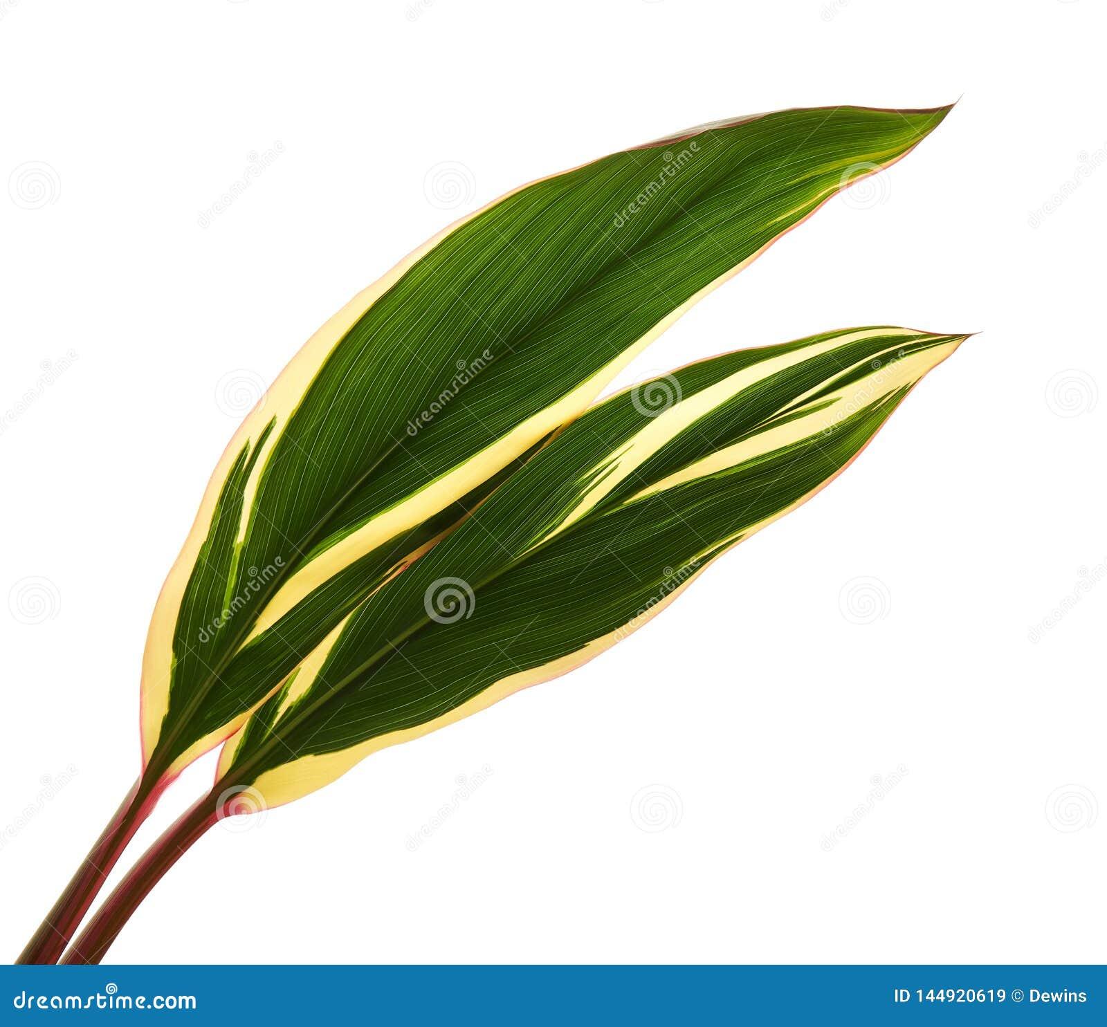 Siv?xt eller Cordylinefruticosasidor, f?rgrik l?vverk, exotiskt tropiskt blad som isoleras p? vit bakgrund med den snabba banan