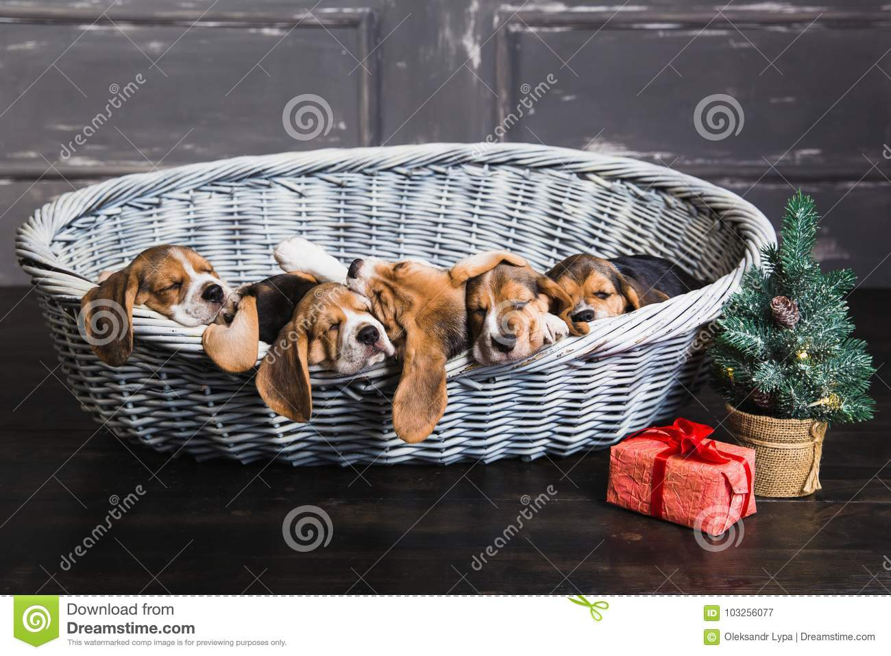 Six Beagle Puppies Sleeping In The Basket Stock Image Image Of Parquet Studio 103256077