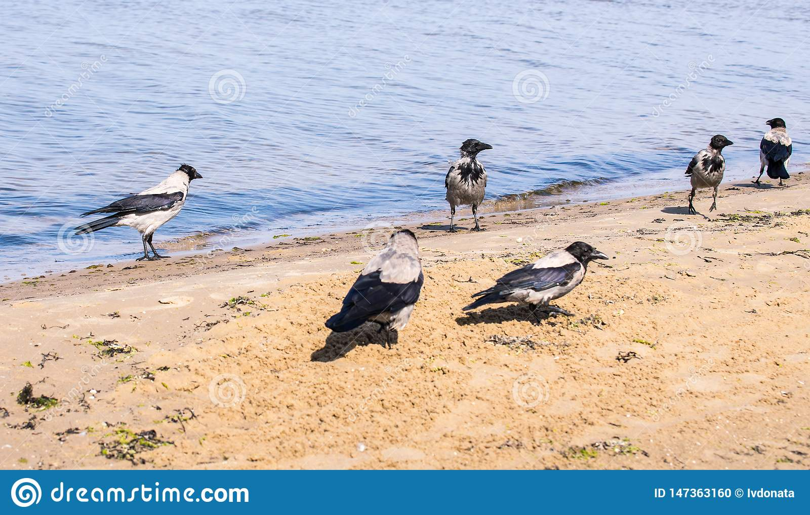 Six gray crows walking in shallow water on a sunny day