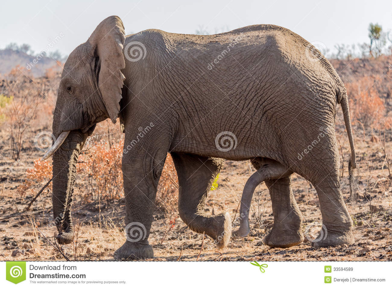 giant male elephant walking in the grass lands of South Africa's ...