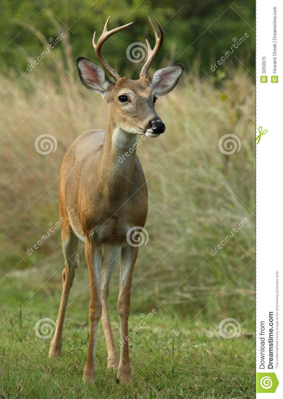 Six Point White-tailed Deer
