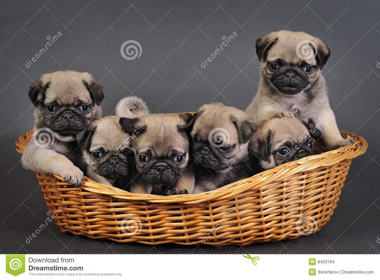 Six Pug Puppies. Stock Images - Image: 8423764