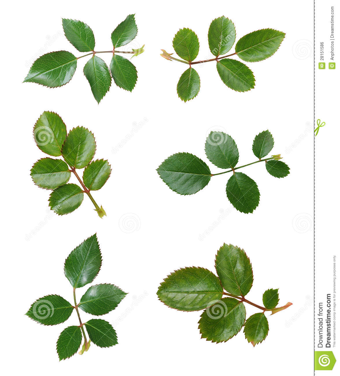 Six Views Of Rose Leaves Royalty Free Stock Image - Image: 28151586