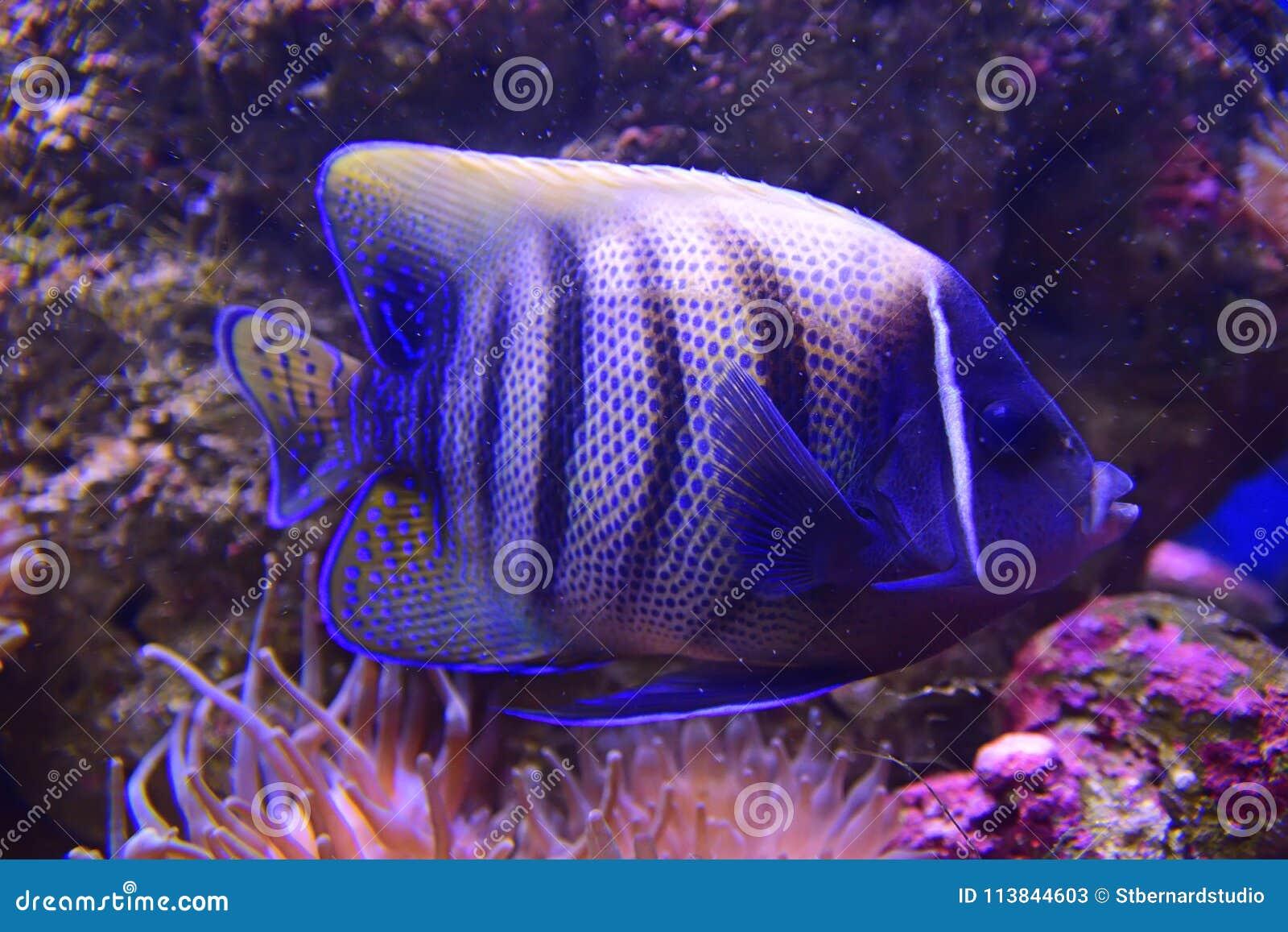 Sixbar ou six a réuni le scalaire avec le corail d actinie dans la tonalité violette