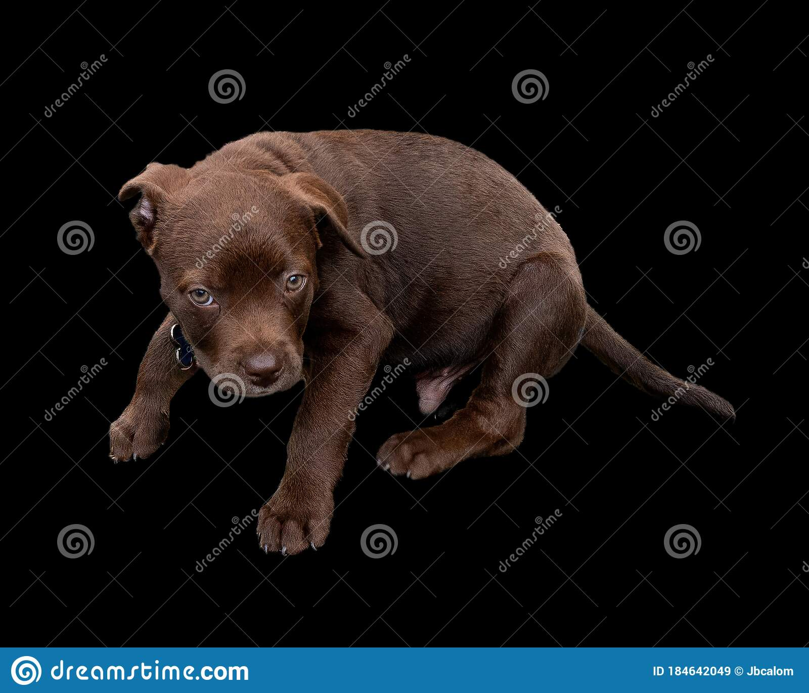 Cute Sixteen Week Old Chocolate Labrador Puppy Looking Around Stock Image Image Of Puppy Breed 184642049