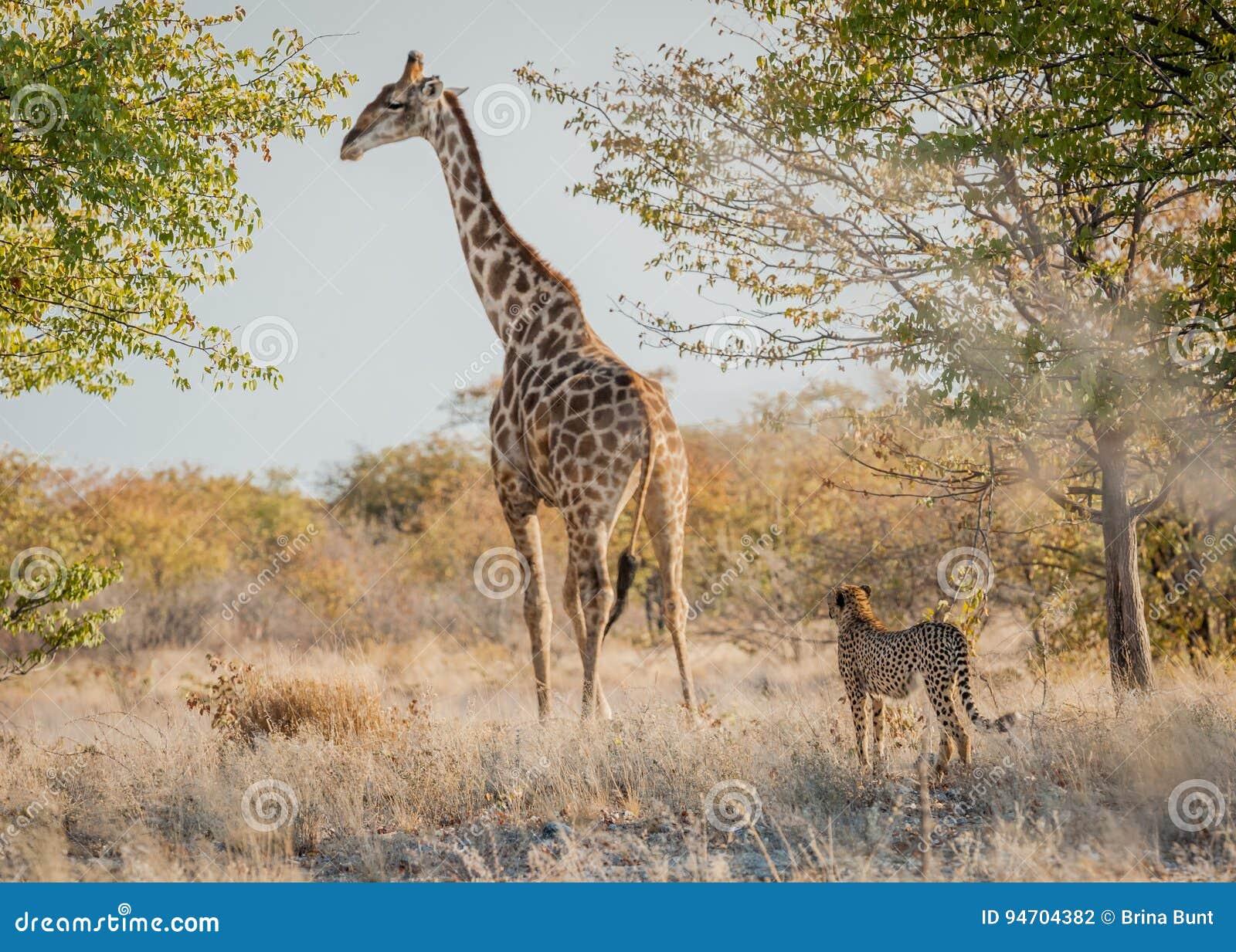 Sizing him up, Etosha National Park, Namibia