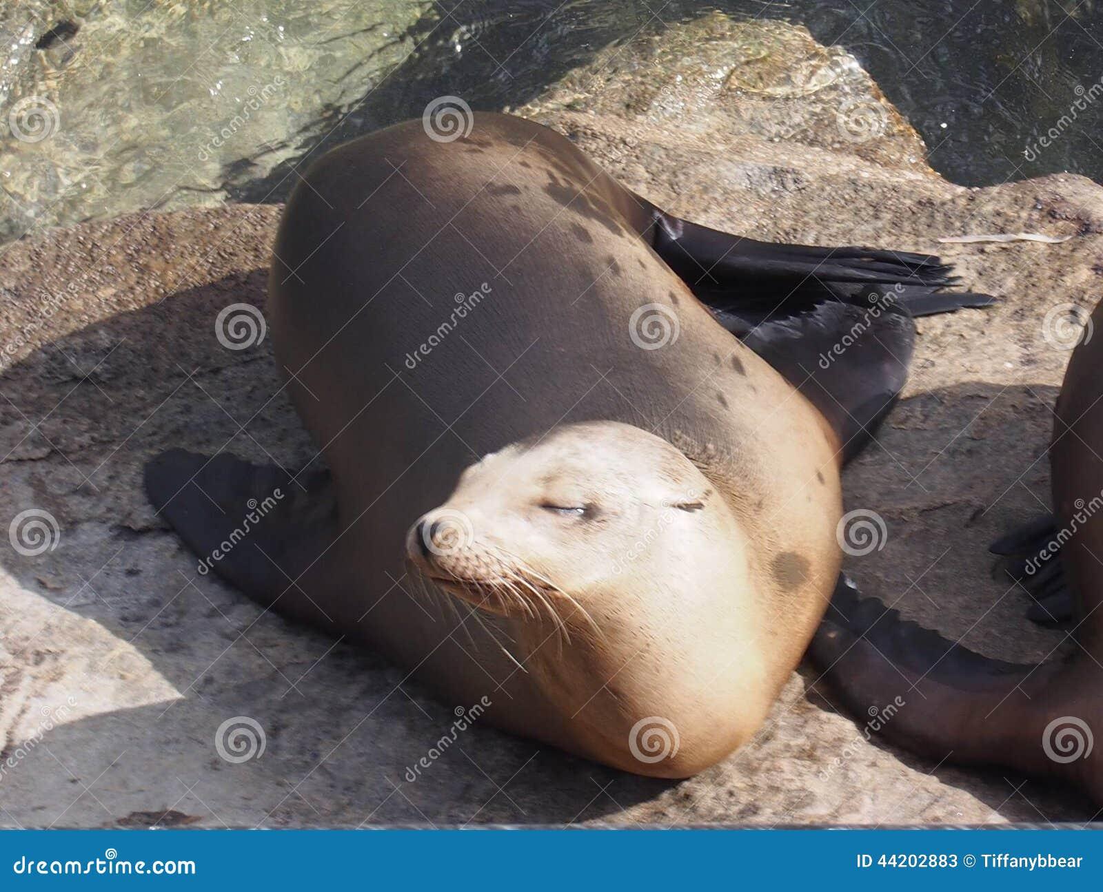 Sjölejon i Monterey