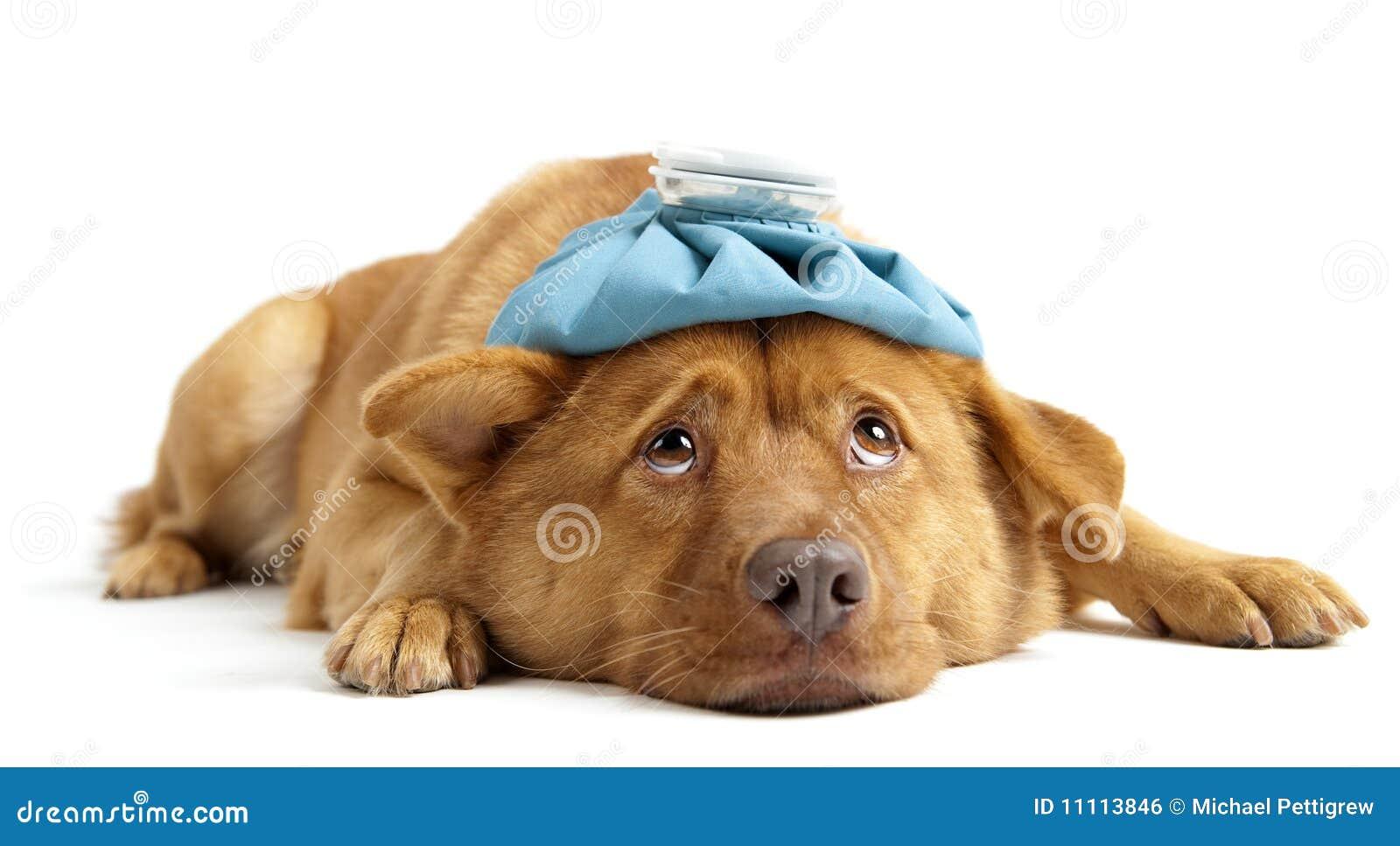 Sjuk hund
