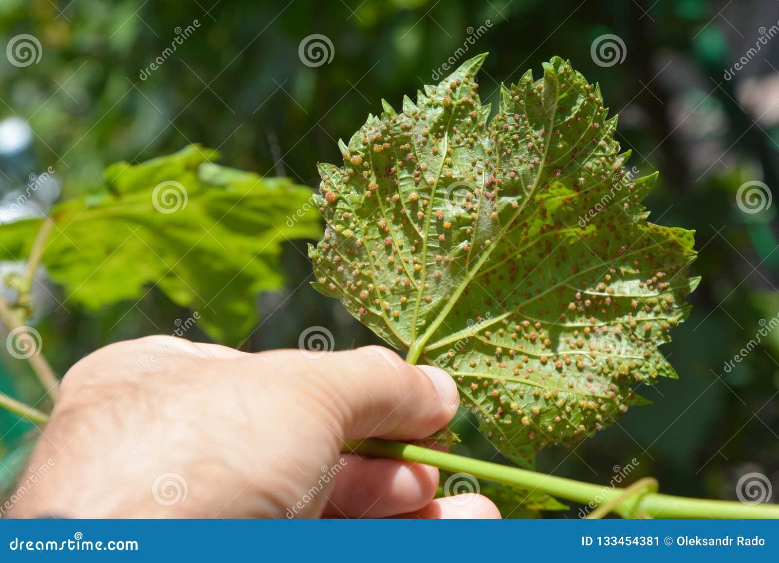Sjukdomar för druvaphylloxera Vastatrix för phylloxeraen för druvaphylloxeraen är en plåga av kommersiella vinrankor över hela vä