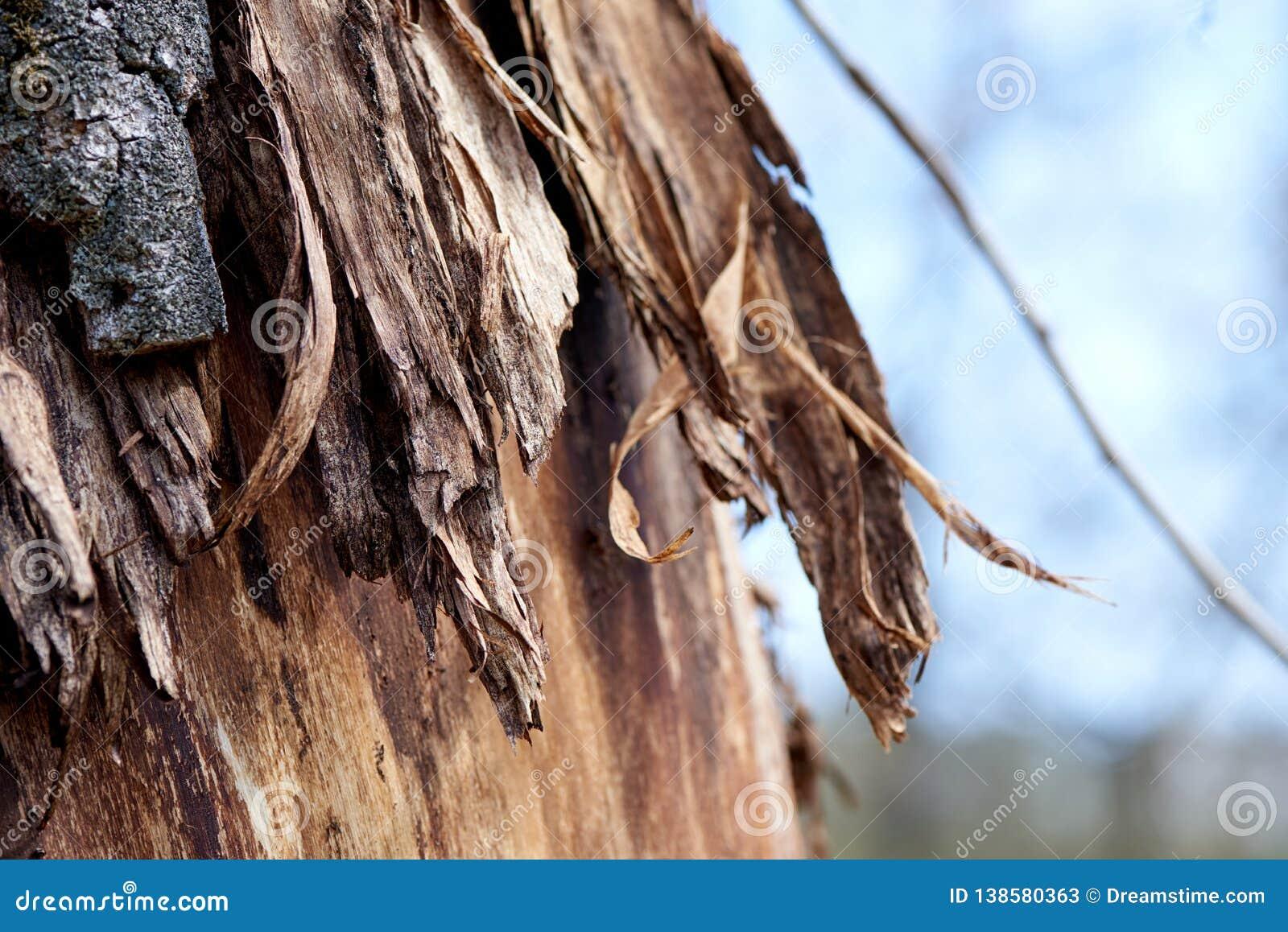 Skäll på ett träd som hudflängas delvist