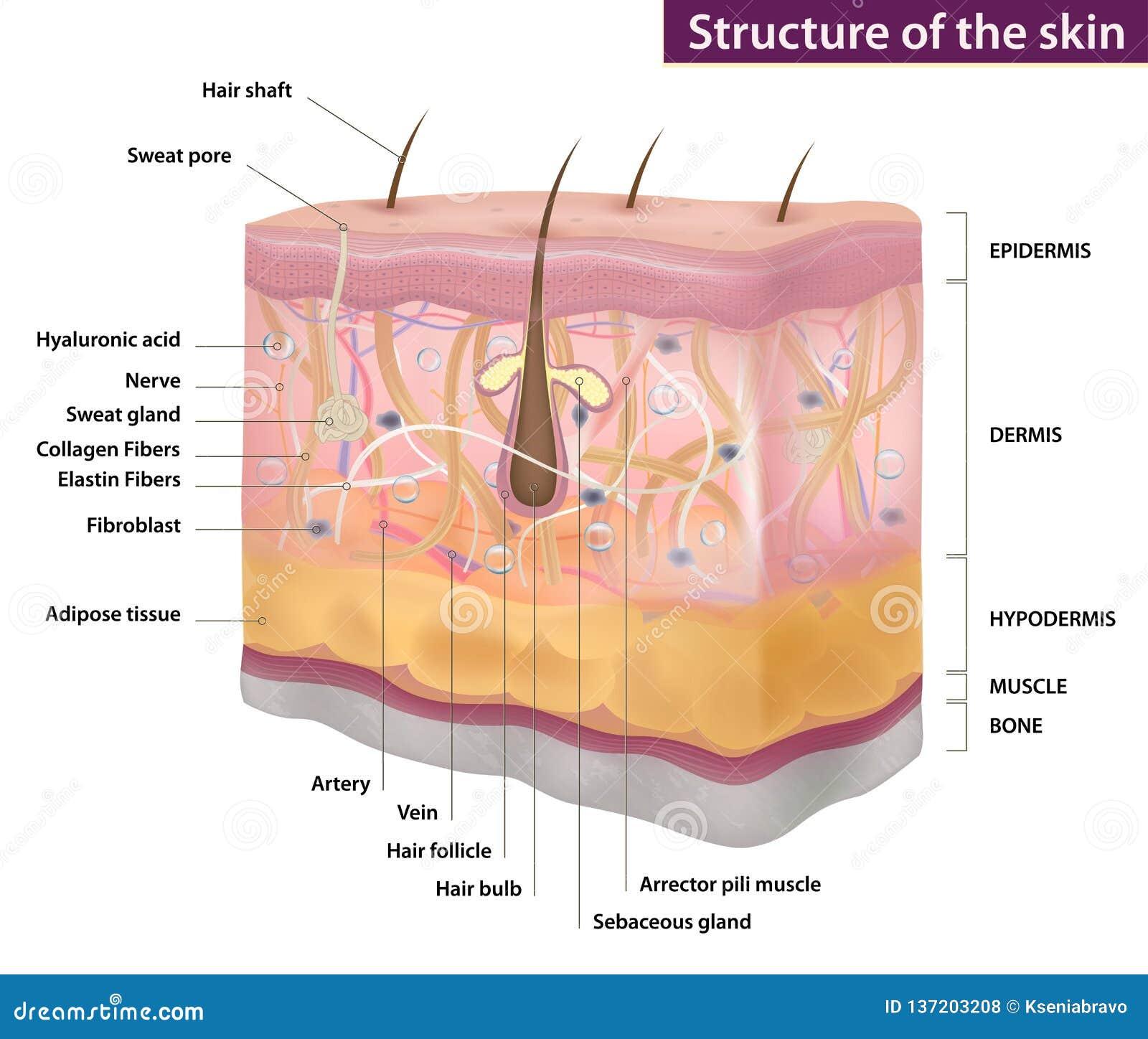 Skóry struktura, medycyna, pełny opis, wektorowa ilustracja
