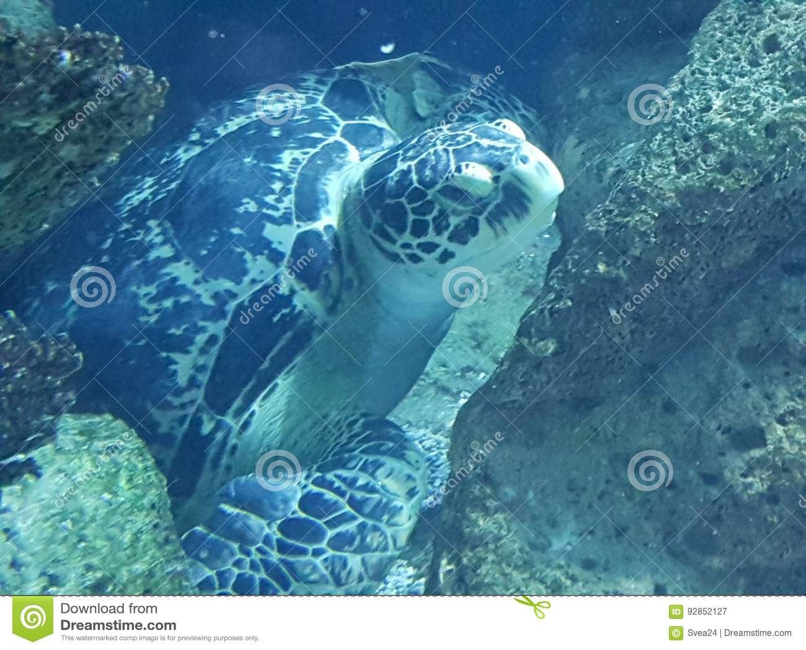Sköldpadda för ‹för †för havs