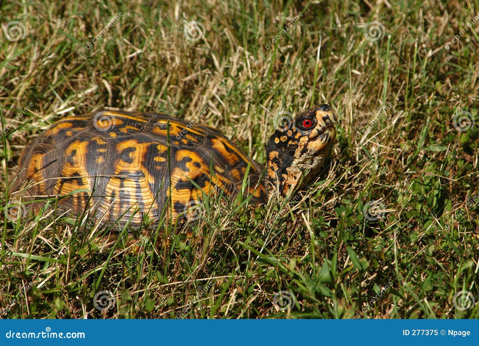 Sköldpadda för ask ii