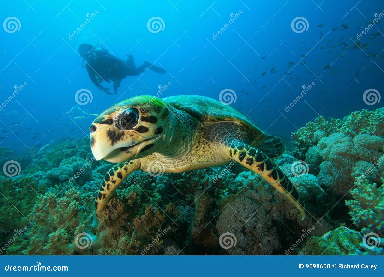 Sköldpadda för dykarehawksbillscuba
