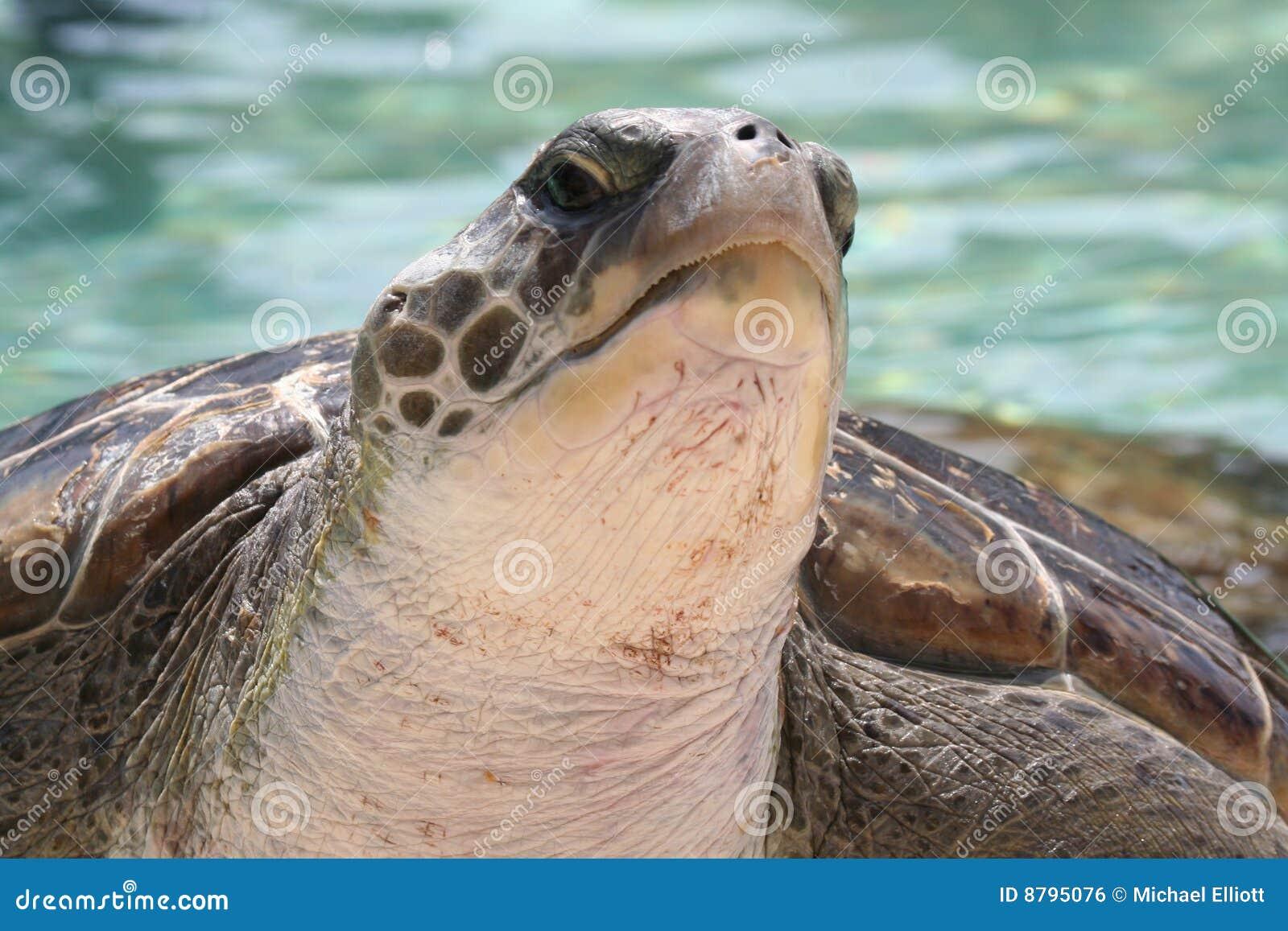 Sköldpadda för grönt hav