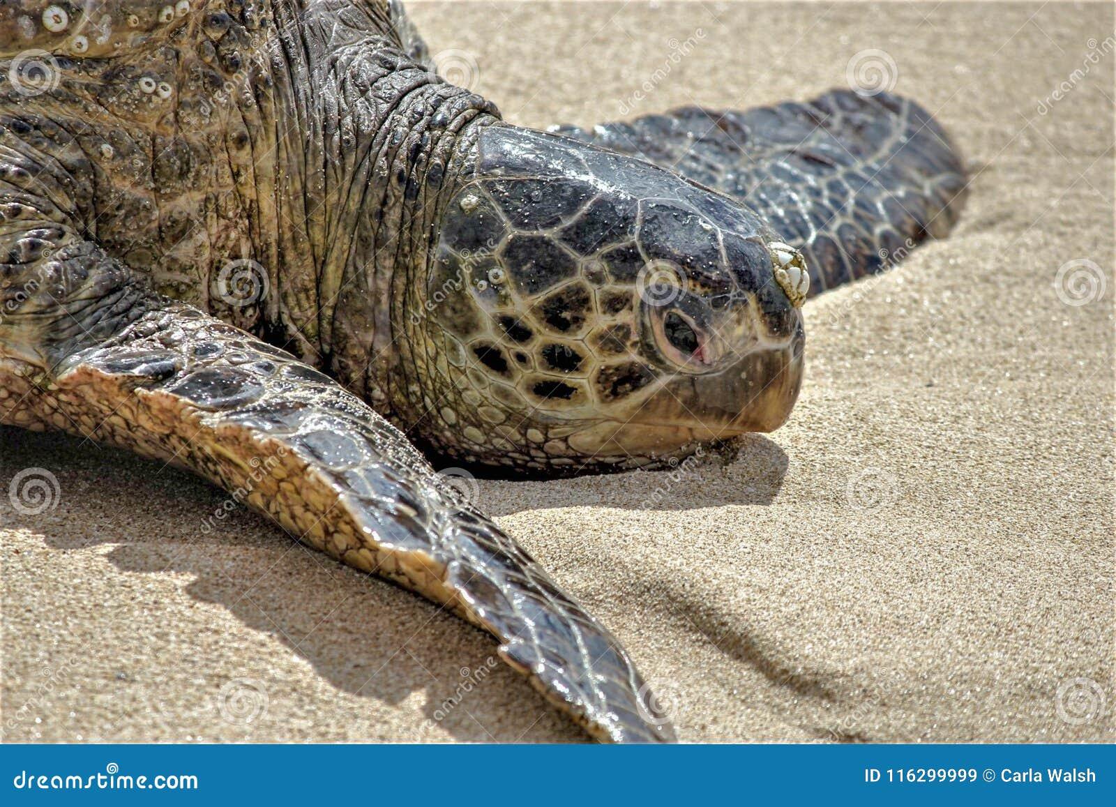 Sköldpadda för grönt hav Oahu, Hawaii